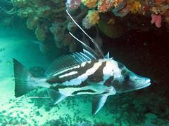 Giant Boarfish