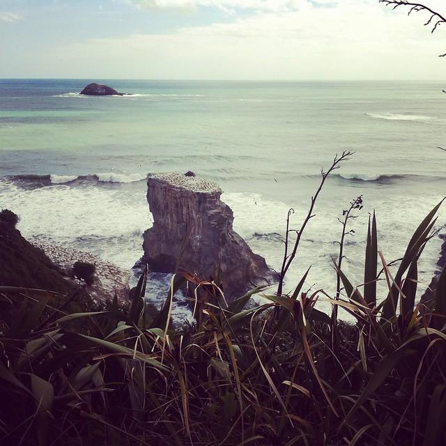 Gannet colony, Muriwai