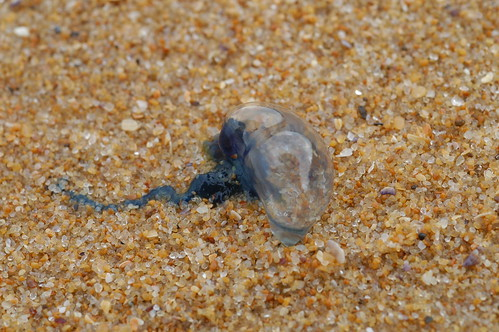 Bluebottle on sand at MacMasters Beach