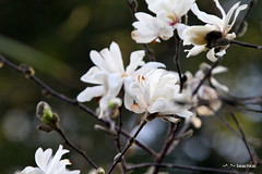 Star Magnolia starts blooming in this unseasonably warm winter