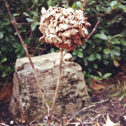 My dead hydrangea #nature #janphotoaday #day30