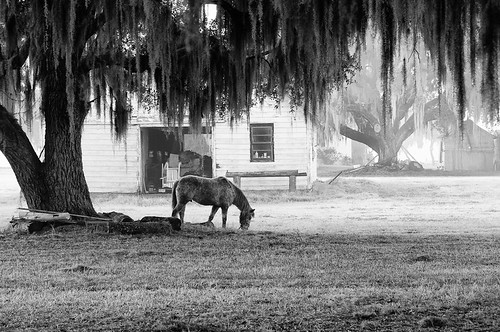 horse tree fog barn landscape farm south low country southern liveoak spanishmoss beaufort equestrian lowcountry coosaw