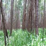 Eucalyptus grandis with guinea grass