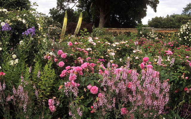Mottisfont Abbey Rose Garden, Hampshire, UK | An outstanding romantic rose garden (8 of 20) | Masses of old fashioned roses combined with herbaceous perennials