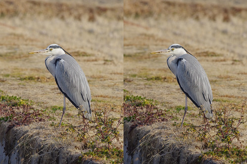 Ardea cinerea, stereo parallel view