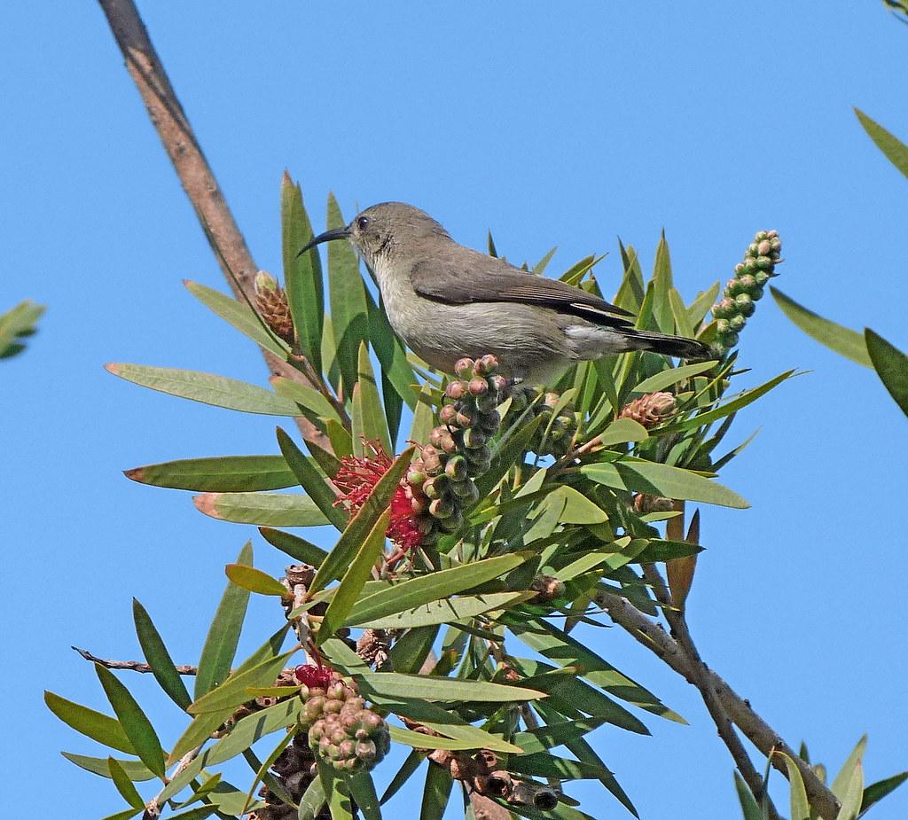 26-01-2012-palestinian-sunbird4
