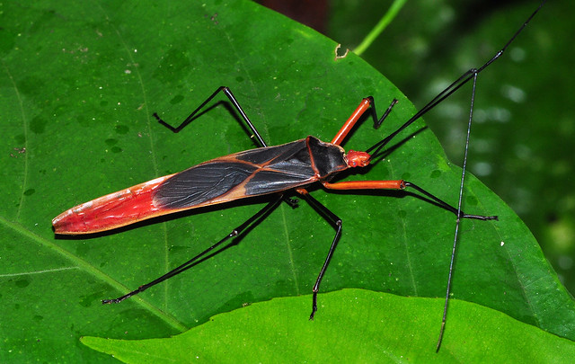 Giant leaf bug | Flickr - Photo Sharing!