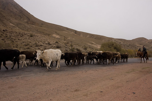 Rebaño de vacas guíado por ganaderos a caballo