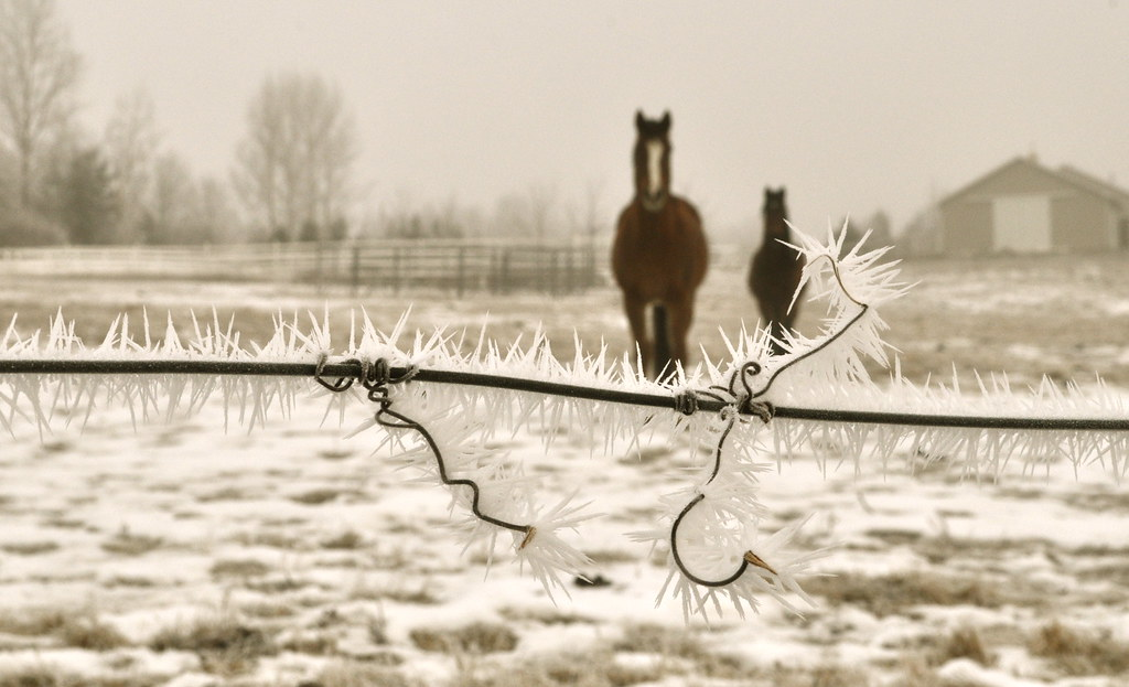 Barbed Wire, Hoar Frost and Horses