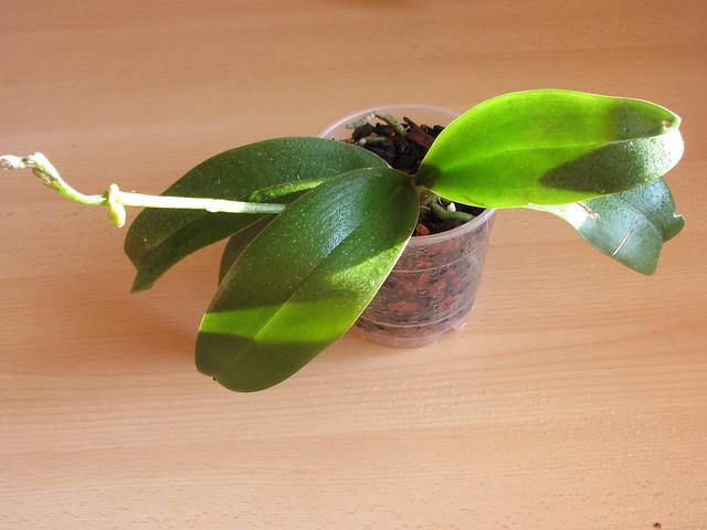 orchideen alle gattungen iv beliebte pflanzen erfahrungen green24 hilfe pflege bilder. Black Bedroom Furniture Sets. Home Design Ideas