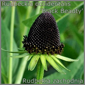 Rudbeckia occidentalis 'Black Beauty' - Rudbekia zachodnia