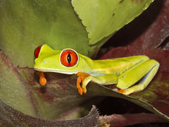 [Free Images] Animals 2, Amphibian, Frogs, Red Eyed Tree Frog ID:201202151000