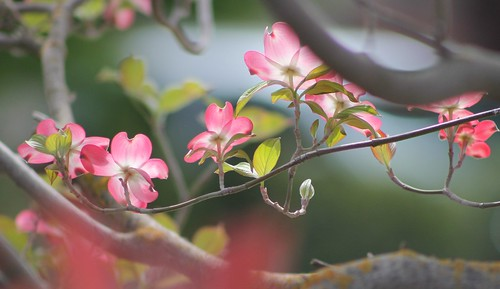 Cornus florida rubra - Dogwood (Explore # 24)