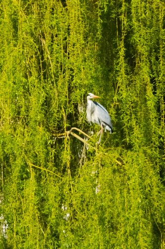 Heron in a weeping willow, West Park