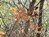 foglie di quercia sospese