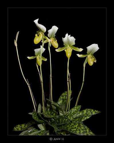 Paphiopedilum Maudiae by Dabduedel