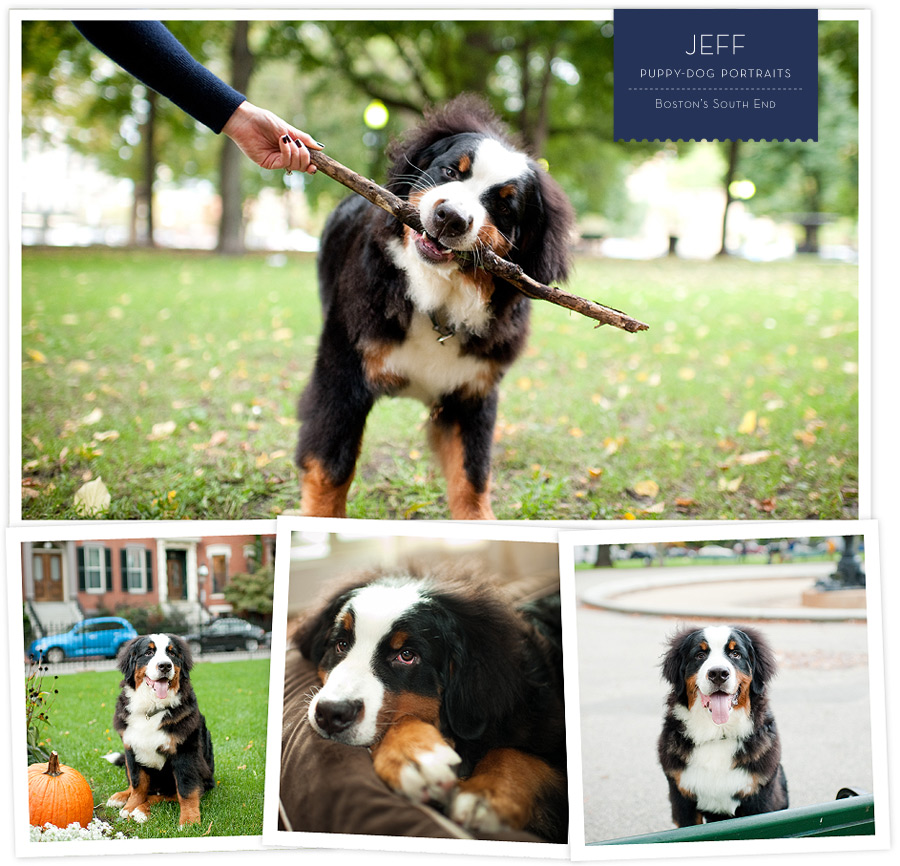 Most Inspiring Bernese Mountain Dog Chubby Adorable Dog - 6414839379_fd3f5ea13f_o  Gallery_277966  .jpg