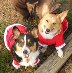 Julie Kratz's Corgi Dogs