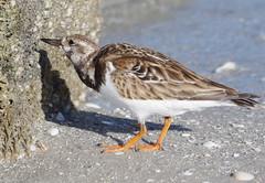 animal, charadriiformes, wing, fauna, red backed sandpiper, shorebird, beak, bird, wildlife,