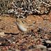Desert Warbler (Peter Dunn)