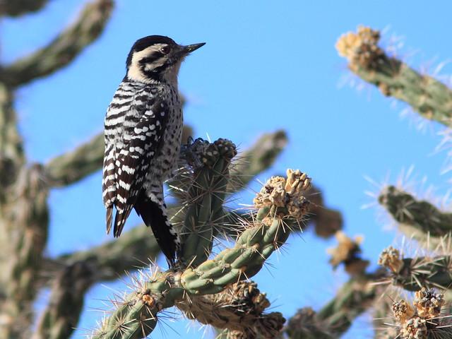 Ladder-backed Woodpecker 2-20111114