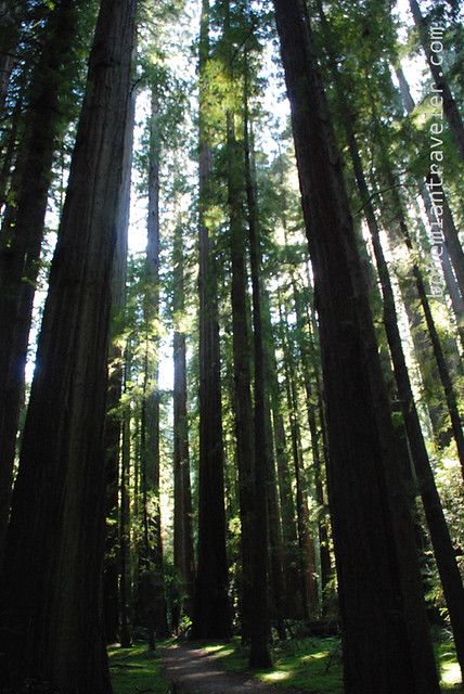 California Redwoods 3