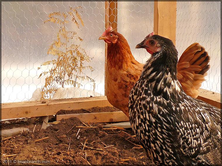 P1190977_chickens