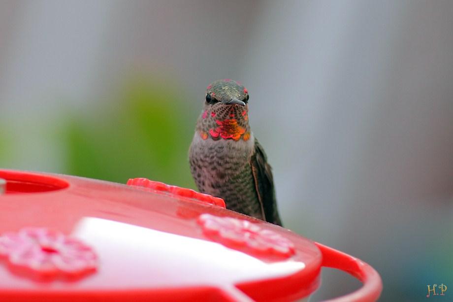 Anna's Hummingbird 120211-8