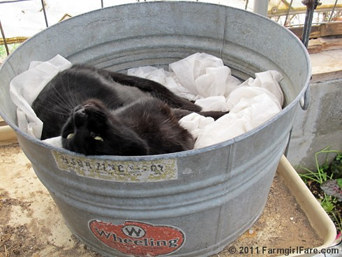 Mr. Midnight snuggled up in a vintage galvanized tub in the greenhouse 3 - FarmgirlFare.com