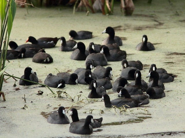 Conglomeration of Coots 20111204