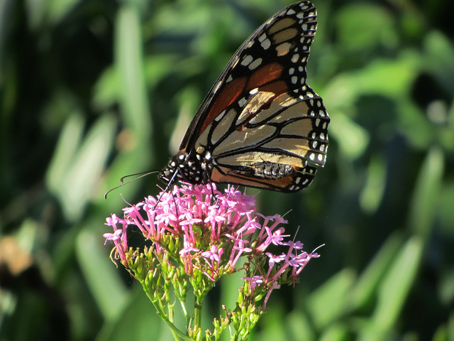 monarch in the canyon