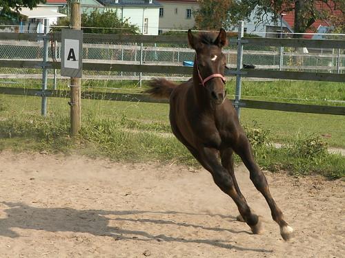Boderitz Pferd 218