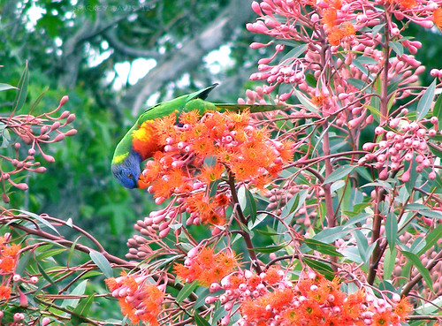 Rainbow Lorikeet in Red Tree