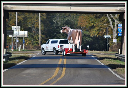 Picayune (MS) United States  city photos gallery : cow milk december betsy giantcow 2011 brownsvelvetdairy