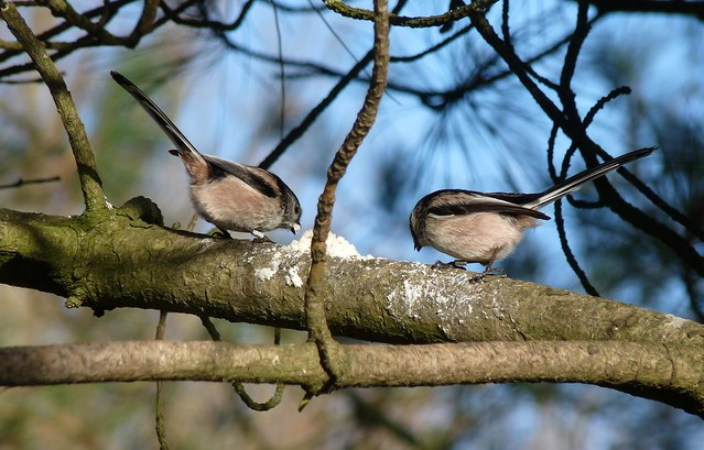 25425 - Long Tailed Tits, Llanelli WWT