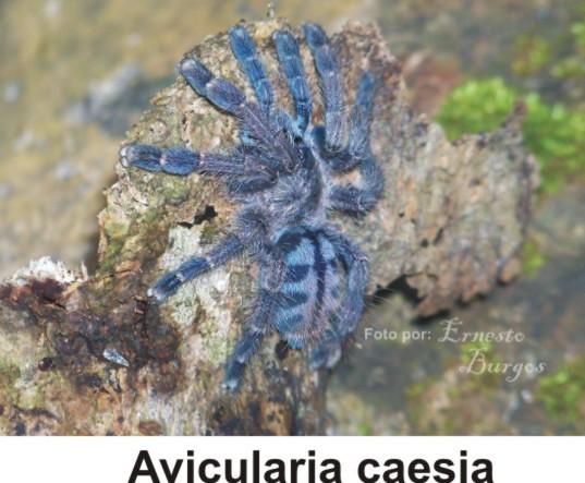 Avicularia caesia - Tierdoku