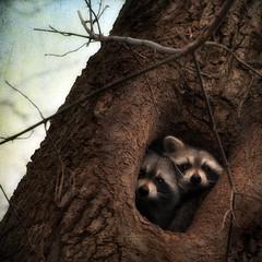 [フリー画像素材] 動物 1, 哺乳類, アライグマ, 動物 - カップル ID:201112291000