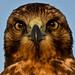 Galapagos Hawk - macro