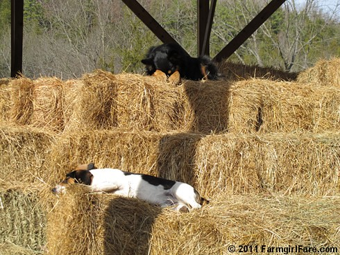 Bert and Bear in holiday recovery mode - FarmgirlFare.com