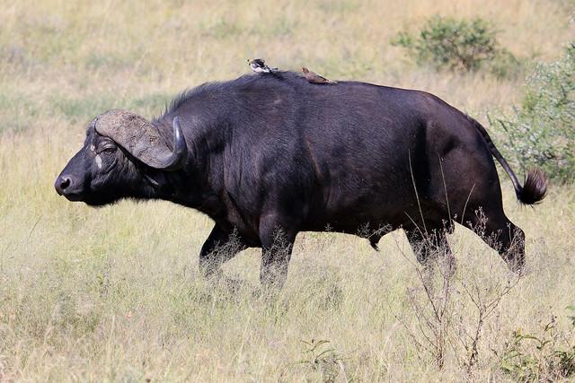Charging cape buffalo