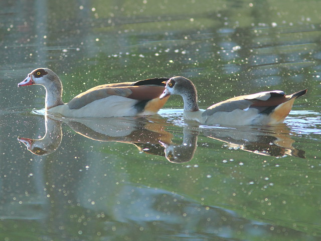 Egyptian Geese 3-20111231