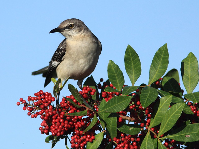 Northern Mockingbird 20120101