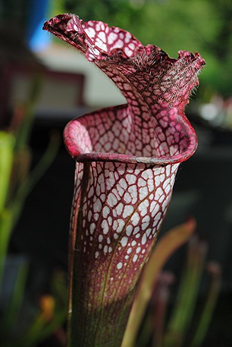 Mottled rosy Pitcher plants open at the top by jungle mama