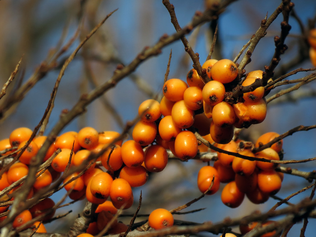Sea buckthorn berry juice sea buckthorn berry juice - Growing sea buckthorn ...