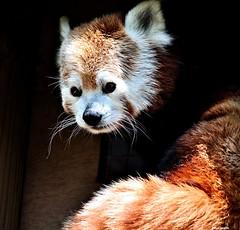 giant panda(0.0), bear(0.0), wildlife(0.0), animal(1.0), red panda(1.0), mammal(1.0), fauna(1.0), whiskers(1.0),