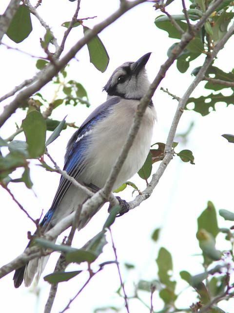 Blue Jay 20120113