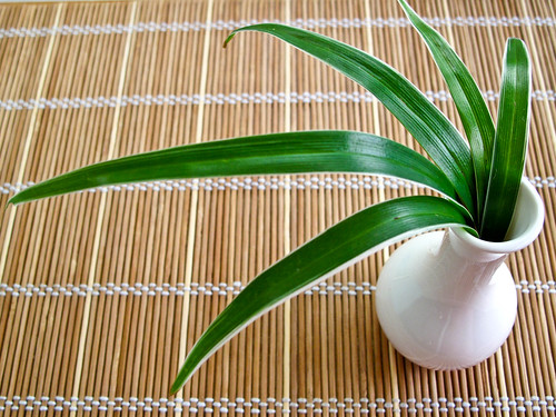 IMG_1196 银边麦冬,ophiopogon stripey white