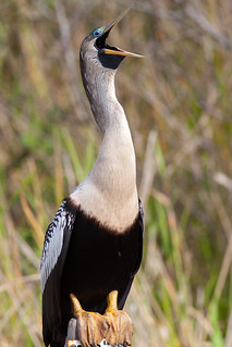 Female-Anhinga-in-Everglades-2