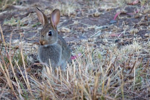 Rabbit, 2012-01-23 (_MG_1670)