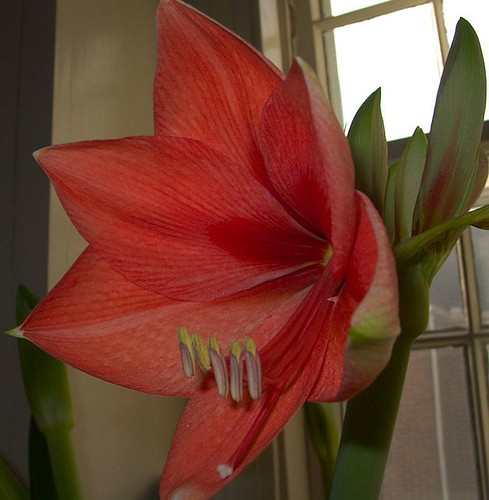 Amaryllis Close-Up 1-23-2012